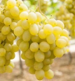 Apirena nera variet senza semi gregorio - Uva da tavola bianca ...